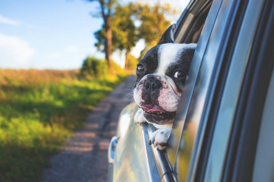 Hav aldrig en løs hund i bilen