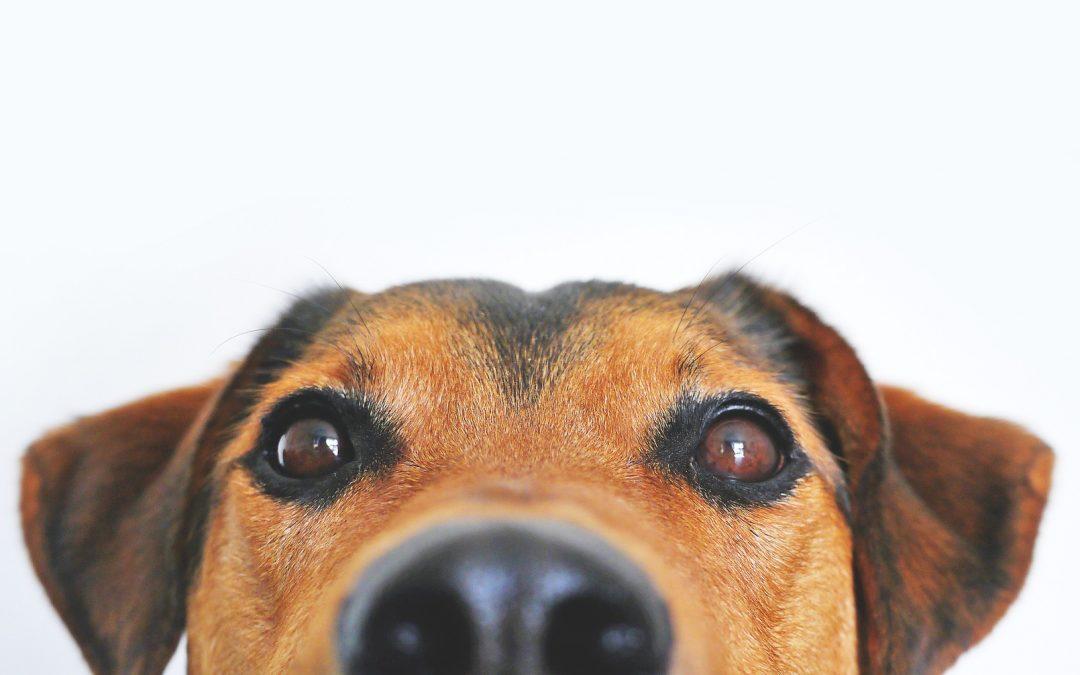 Hvordan er det nu lige med hunde og biler?